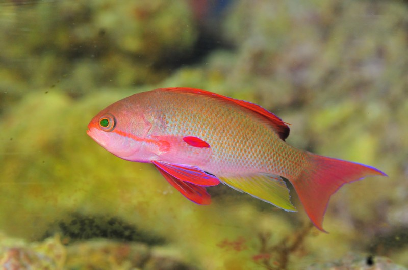 Name:  anthias.jpg