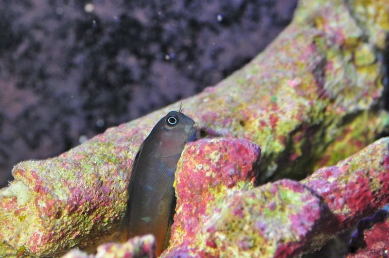 Name:  blenny.jpg