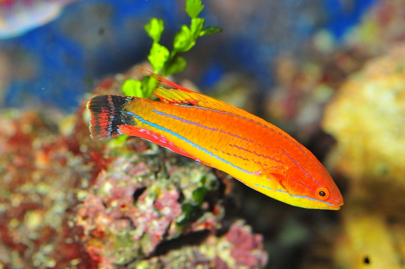 Name:  carpenters-flasher-wrasse.jpg
