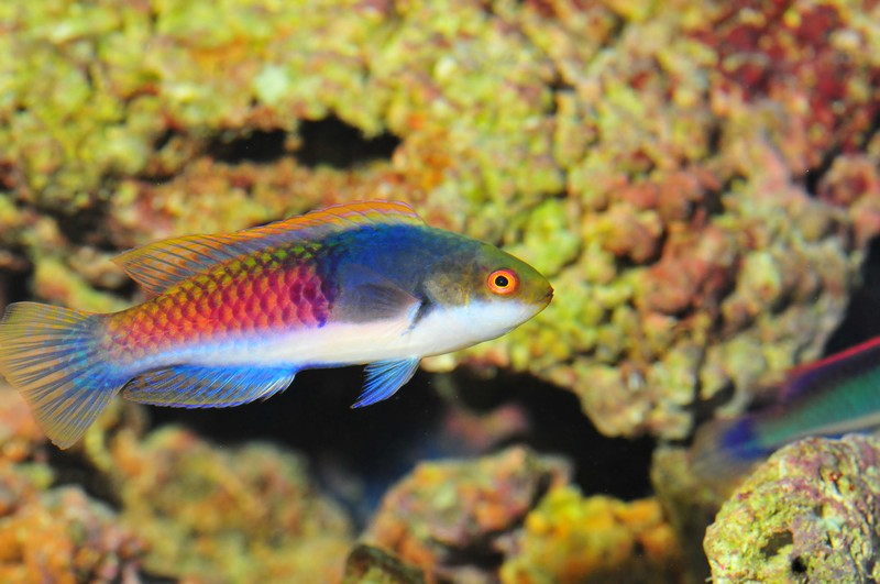 Name:  fairy-wrasse.jpg