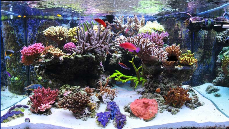 Coral Reef Aquarium - Featured Reef Aquariums - Preuss Pets  200g Deep Dimension SPS Tank