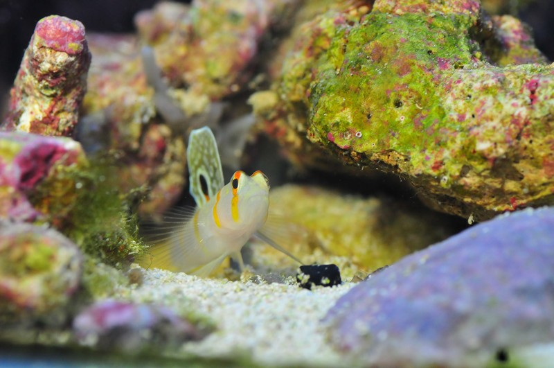 Name:  randals-goby.jpg Views: 1374 Size:  161.0 KB