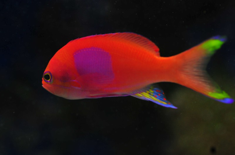 Name:  square-spot-anthias.jpg