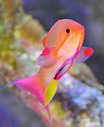 Preuss Pets  200g Deep Dimension SPS Tank-super-male-anthias.jpg