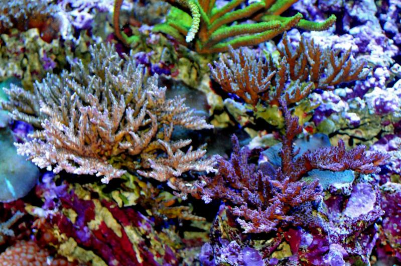 Name:  acropora-forest.jpg