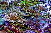 Richie Rich's Reef-acropora-forest.jpg