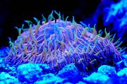 Richie Rich's Reef-actinic-orange-fungia.jpg