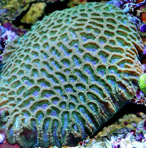 Name:  blue-green-favia.jpg Views: 1399 Size:  76.2 KB