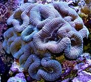 Richie Rich's Reef-blue-lobo.jpg