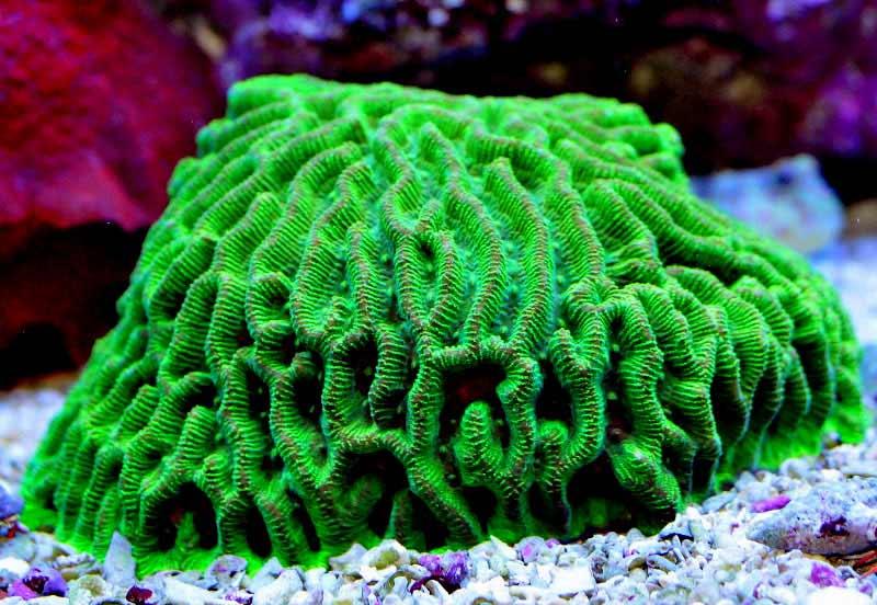 Name:  green-maize-brain.jpg Views: 1993 Size:  72.0 KB