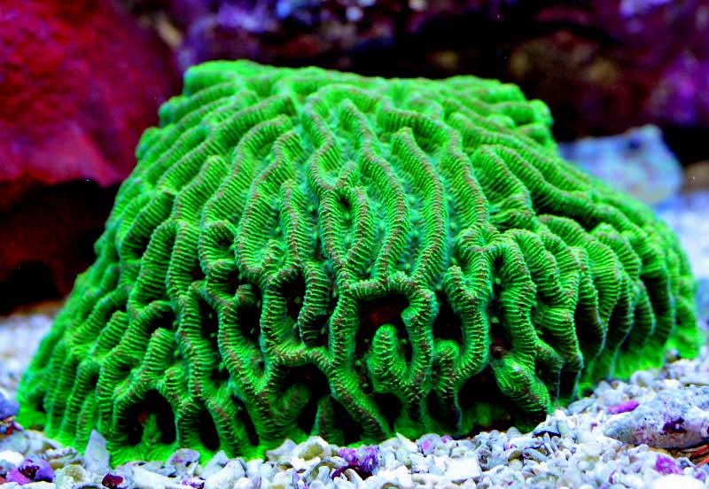 Name:  green-maize-brain.jpg Views: 1815 Size:  72.0 KB