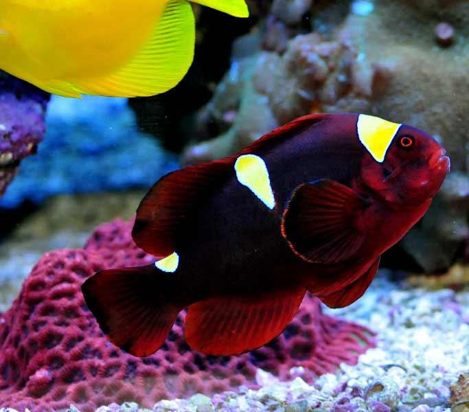 Name:  maroon-clownfish.jpg Views: 2003 Size:  37.4 KB