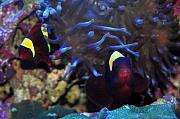 Richie Rich's Reef-maroon-clowns-hosting.jpg