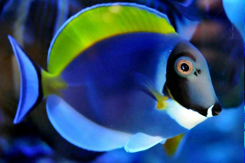 Name:  powder-blue-tang.jpg Views: 5519 Size:  29.9 KB