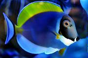 Richie Rich's Reef-powder-blue-tang.jpg