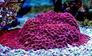 Richie Rich's Reef-red-favia.jpg