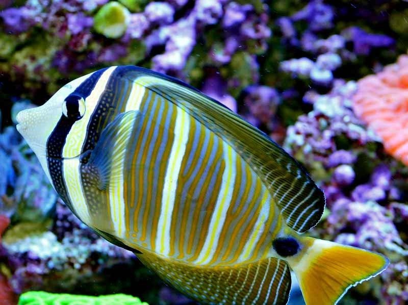 Name:  sailfin-tang.jpg Views: 1789 Size:  57.6 KB