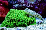 Richie Rich's Reef-sleeper-goby.jpg