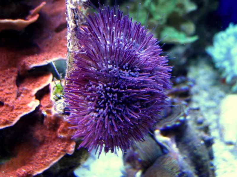 Name:  purple-urchin.jpg Views: 765 Size:  72.0 KB
