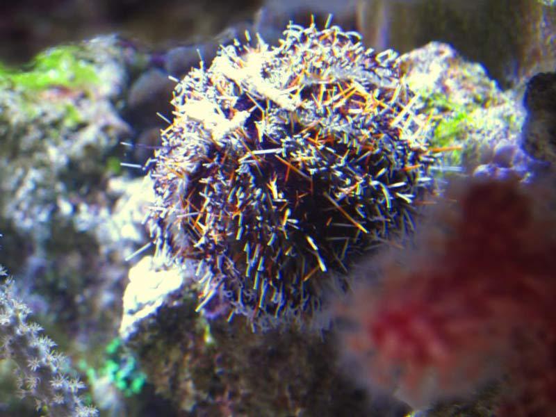 Name:  spiney-urchin.jpg Views: 990 Size:  76.9 KB