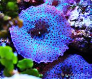 Tom@HassletMI's Mixed Reef-blue-spot-mushrooms.jpg