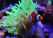 Tom@HassletMI's Mixed Reef-clownfish.jpg