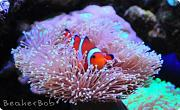 Tom@HassletMI's Mixed Reef-clownfish2.jpg