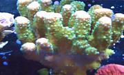 Tommyjr61's Marvelous Mixed Reef-acro.jpg