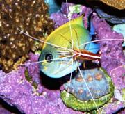 Tommyjr61's Marvelous Mixed Reef-black-swallowtail-angelfish.jpg