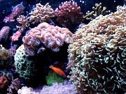 Tommyjr61's Marvelous Mixed Reef-candycane-coral.jpg