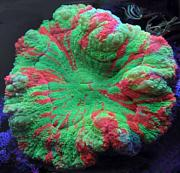 Tommyjr61's Marvelous Mixed Reef-scoly.jpg