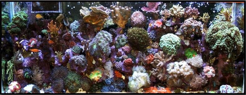 Coral Reef Aquarium - Featured Reef Aquariums - Tommyjr61's Marvelous Mixed Reef