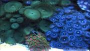Tommyjr61's Marvelous Mixed Reef-zoanthids.jpg