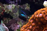 Vega15's Gorgeous Mixed Reef-vega-8.jpg