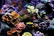 Vega15's Gorgeous Mixed Reef-vega-corals.jpg