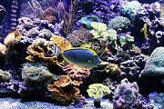 Vega15's Gorgeous Mixed Reef-vega-tang.jpg