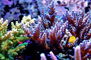 Youngtimothy's Beautiful Reef-acros1.jpg