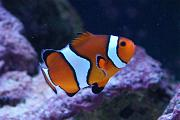 Youngtimothy's Beautiful Reef-clownfish.jpg