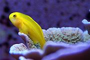 Youngtimothy's Beautiful Reef-clowngoby.jpg