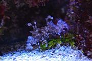 Youngtimothy's Beautiful Reef-harlequin_shrimp.jpg