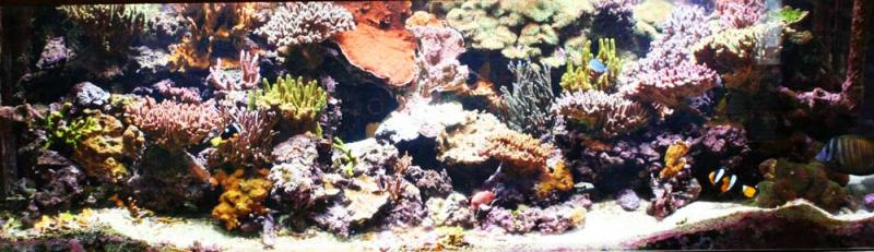Coral Reef Aquarium - Featured Reef Aquariums - Zachtos' SPS Forest