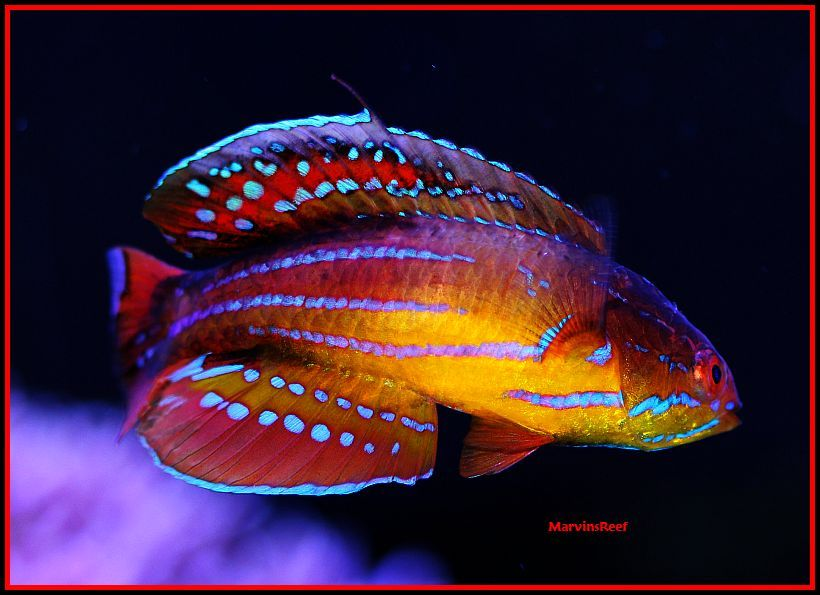 Coral Reef Aquarium - Fish Finder - Attenuatus (Diamond Tail) Flasher Wrasse