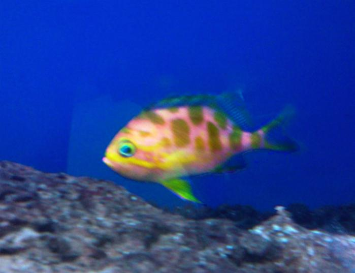 Coral Reef Aquarium - Fish Finder - Barbonius Anthias
