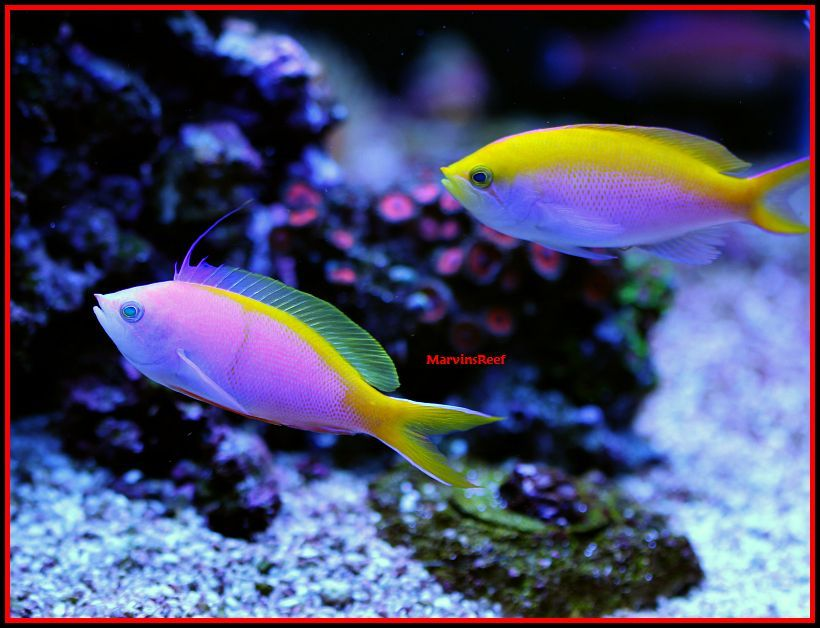 Coral Reef Aquarium - Fish Finder - Bartlett's Anthias