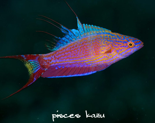 Coral Reef Aquarium - Fish Finder - Bell's Flasher Wrasse