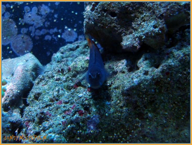 Coral Reef Aquarium - Fish Finder - Bi-Color Blenny