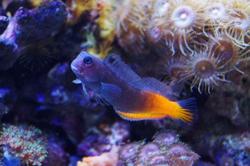 Coral Reef Aquarium - Fish Finder - BiColor Blenny