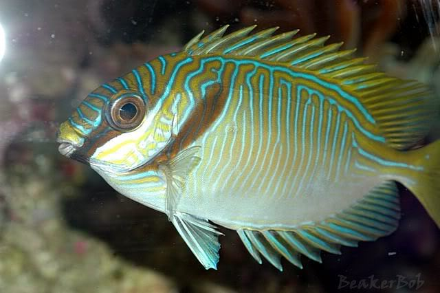 Coral Reef Aquarium - Fish Finder - Bluelined Rabbitfish