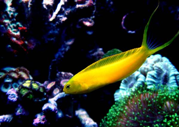 Coral Reef Aquarium - Fish Finder - Canary Blenny