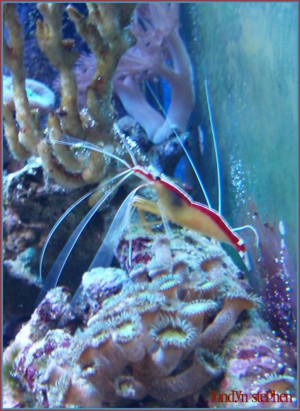 Coral Reef Aquarium - Fish Finder - Cleaner Shrimp